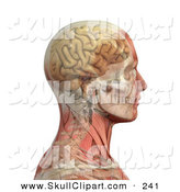 Vector Clip Art of a 3d Profiled Male Head and Shoulders with Transparent Muscles with the Skull and Brain by Michael Schmeling