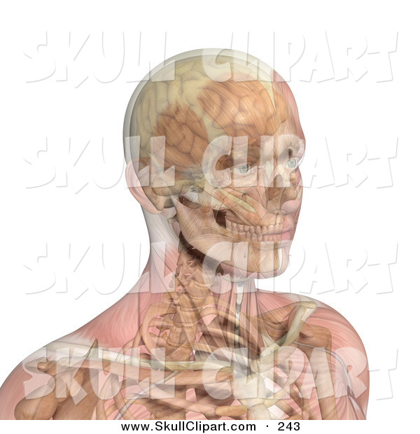 Vector Clip Art of a 3d Male Head and Shoulders with Transparent Muscles Showing Bone and Brain