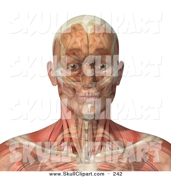 Vector Clip Art of a 3d Male Head and Shoulders with Transparent Muscles with the Skull and Brain