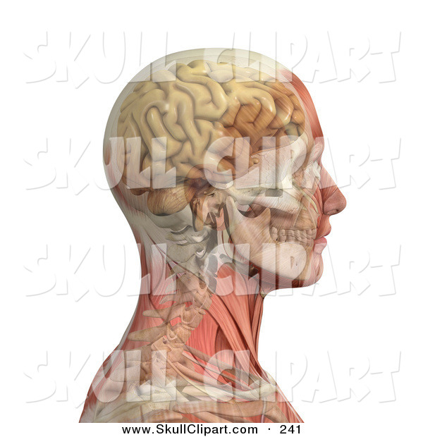 Vector Clip Art of a 3d Profiled Male Head and Shoulders with Transparent Muscles with the Skull and Brain